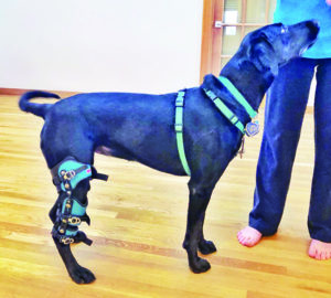 Canine Knee Injury? Brace Yourself