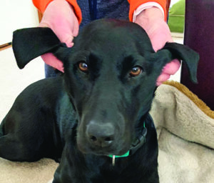 Prevent Dog Ear Infections by Cleaning Your Dog's Ears