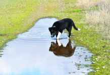 Leptospirosis in dogs