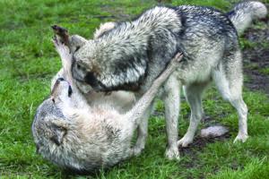 Alpha Dog Myths